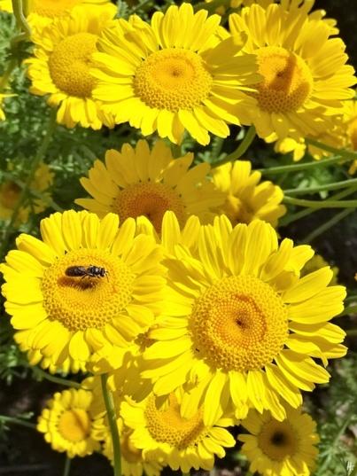 2019-06-22 LüchowSss Garten Färberkamille (Anthemis tinctoria) mit kleiner Wildbiene, vermutl. Gewöhnlichen Löcherbiene (Heriades truncorum) (1)
