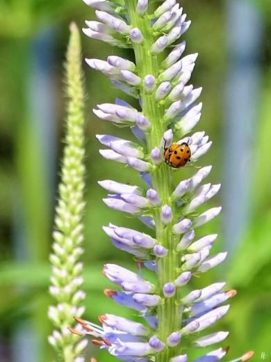 2019-06-22 LüchowSss Garten Kandelaber-Ehrenpreis (Veronicastrum virginicum) + Variable Flach-Marienkäfer (Hippodamia variegata) (2)