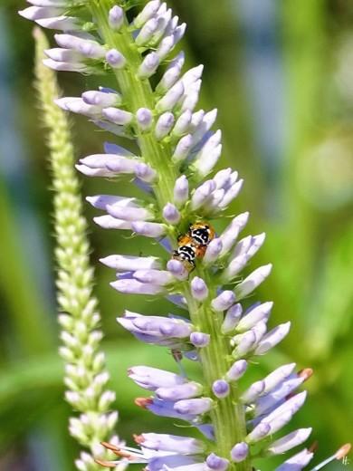 2019-06-22 LüchowSss Garten Kandelaber-Ehrenpreis (Veronicastrum virginicum) + Variable Flach-Marienkäfer (Hippodamia variegata) (3)