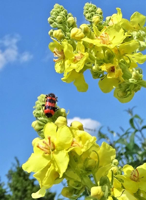 2019-06-22 LüchowSss Garten Kandelaber-Königskerze (Verbascum olympicum) + Bienenkäfer (Trichodes apiarius)