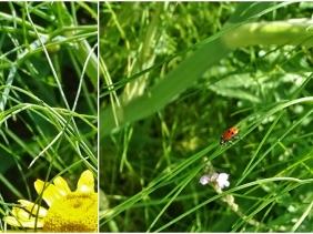 2019-06-22 LüchowSss Garten Variabler Flach-Marienkäfer (Hippodamia variegata) am Fenchel mit Färberkamille u. Eisenkraut