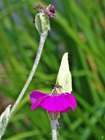 2019-06-23 LüchowSss Garten Zitronenfalter (Gonepteryx rhamni) + Kronen-Lichtnelken (Silene coronaria) (3)