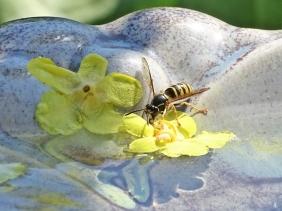 2019-06-25 LüchowSss Garten Strehla Keramik Wasserschale (5) Wespe beim Wassertrinken