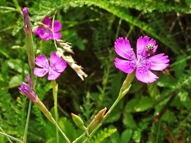 2019-06-26 LüchowSss Garten Heidenelke (Dianthus deltoides) + Sechzehnpunkt-Marienkäfer (Tytthaspis sedecimpunctata) bzw. Siebzehnpunkt (1)