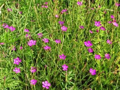 2019-06-26 LüchowSss Garten Heidenelken (Dianthus deltoides) + kl. Wildbiene (1)