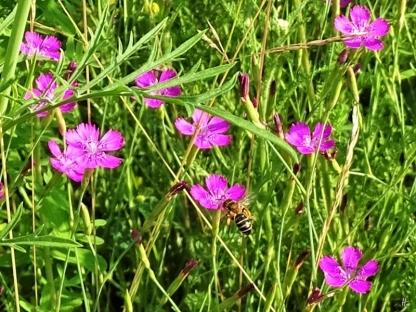 2019-06-26 LüchowSss Garten Heidenelken (Dianthus deltoides) + kl. Wildbiene (3)