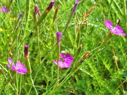 2019-06-26 LüchowSss Garten Heidenelken (Dianthus deltoides) + Sechzehnpunkt-Marienkäfer (Tytthaspis sedecimpunctata)bzw. Siebzehnpunkt (3)