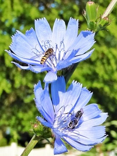 2019-06-26 LüchowSss Garten morgens um acht Uhr - Wegwarte (Cichorium intybus)+ Gemeine Feldschwebfliege (Eupeodes corollae) + Mauerbiene (Osmia spec.) (3)