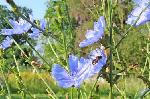 2019-06-26 LüchowSss Garten morgens um acht Uhr - Wegwarte (Cichorium intybus) + Grosse Wollbiene (Anthidium manicatum) (15)