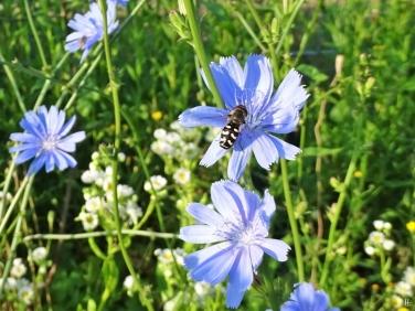2019-06-26 LüchowSss Garten morgens um acht Uhr - Wegwarte (Cichorium intybus)+ Mondfleckschwebfliege (Eupeodes lapponicus) (7)