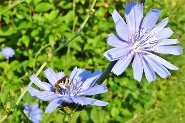 2019-06-26 LüchowSss Garten morgens um acht Uhr - Wegwarte (Cichorium intybus)+ Gelbbindigen Furchenbiene (Halictus scabiosae) (10)