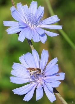 2019-06-26 LüchowSss Garten morgens um acht Uhr - Wegwarte (Cichorium intybus)+ Gelbbindigen Furchenbiene (Halictus scabiosae) (14)