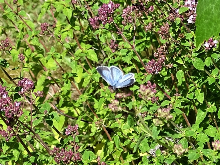 2019-06-28 LüchowSss Garten Faulbaum-Bläuling (Celastrina argiolus), weibl. + Wilder Dost (Origanum vulgare) (1)