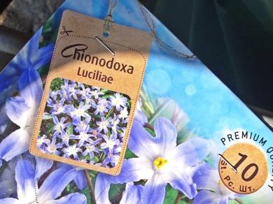 2019-04-06 LüchowSss Garten Gewöhnliche Sternhyazinthe (Chionodoxa luciliae) (5)