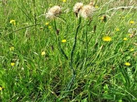 2019-06-26 LüchowSss Garten morgens um neun Uhr - Pusteblumen am Gewöhnlichen Ferkelkraut (Hypochaeris radicata) mit Verbänderung (Fasziation)