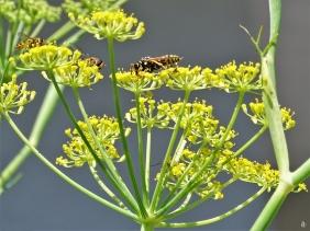 2019-06-27 LüchowSss Garten Fenchel-(Foeniculum vulgare)-Blüte + Schwebfliegen + Feldwespe + I-Eier