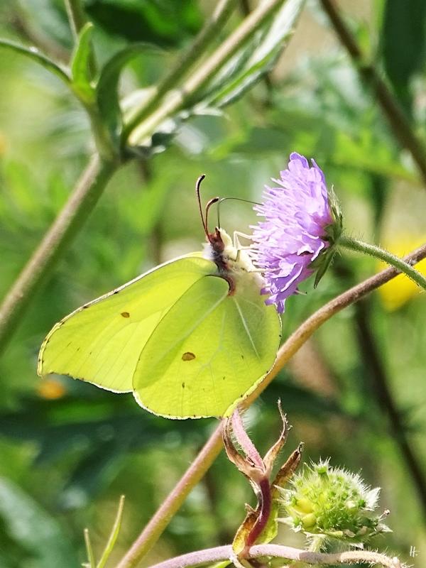 2019-06-28 LüchowSss Garten Acker-Witwenblume (Knautia arvensis) + Zitronenfalter (Gonepteryx rhamni)