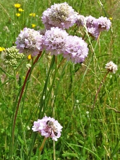 2019-06-28 LüchowSss Garten Galmei-Grasnelken mit Europäischer Honigbiene (1)
