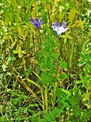 2019-06-28 LüchowSss Garten Gewöhnliche Sternhyazinthe (Chionodoxa luciliae) unterhalb von Echtem Johanniskraut auf der Wieseninsel (2)