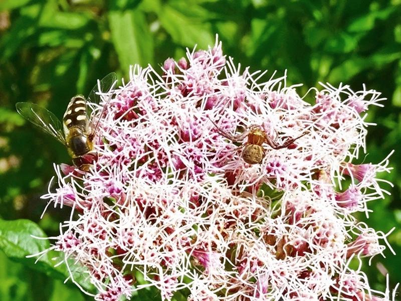 2019-06-28 LüchowSss Garten Wasserdost (Eupatorium cannabinum) + Braune bzw. Busch-Krabbenspinne (Xysticus cristatus) + Mondfleckschwebfliege (Eupeodes lapponicus)