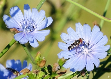 2019-06-30 LüchowSss Garten Wegwarte (Cichorium intybus) + Mondfleckschwebfliege (Eupeodes lapponicus)