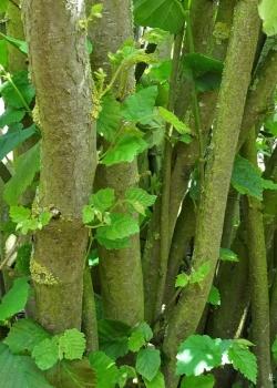 2019-07-01 LüchowSss Garten Hasel (Corylus avellana) - Wieder-Austrieb (2)