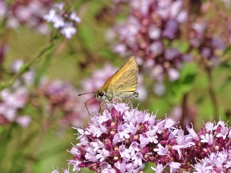 2019-07-01 LüchowSss Garten Wilder Dost (Origanum vulgare) + Braunkolbige bzw. Ockergelbe Braundickkopffalter (Thymelicus sylvestris)