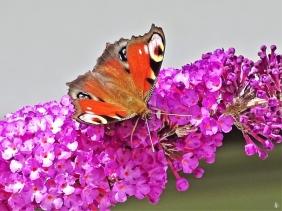 2019-07-04 LüchowSss Garten Schmetterlingsflieder (Buddleja davidii) + Tagpfauenauge (Inachis io)