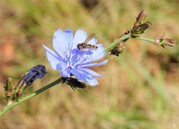 2019-07-04 LüchowSss Garten Wegwarte (Cichorium intybus) mit Hain-Schwebfliege (Episyrphus balteatus) (1)