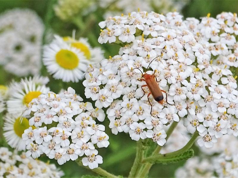 2019-07-05 LüchowSss Garten Wiesen-Schafgarbe (Achillea millefolium) + Rotgelber Weichkäfer (Rhagonycha fulva) + Feinstrahl (Erigeron annuus) (3)