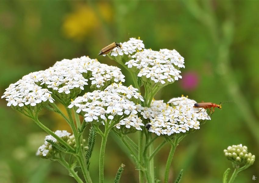2019-07-05 LüchowSss Garten Wiesen-Schafgarbe (Achillea millefolium) + Weichkäfer (8)