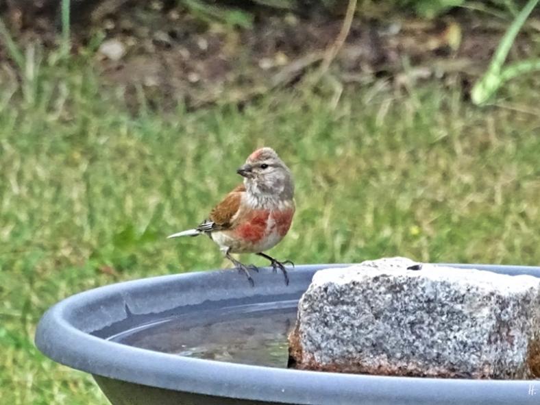 2019-07-06 LüchowSss Garten Bluthänfling (Linaria cannabina) an Vogeltränke (2)