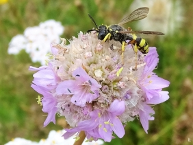 2019-07-07 LüchowSss Garten Galmei-Grasnelke (Armeria maritima subsp. halleri) + Bienenjagende Knotenwespe (Cerceris rybyensis)