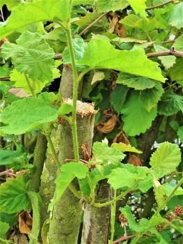 2019-07-07 LüchowSss Garten Hasel (Corylus avellana)- Wieder-Austrieb (2)