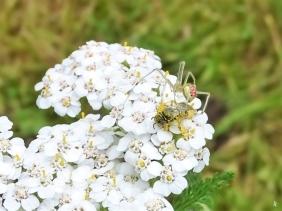 2019-07-07 LüchowSss Garten helle Spinne mit roter Zeichnung - Enoplognatha ovata oder E. latimana (4)