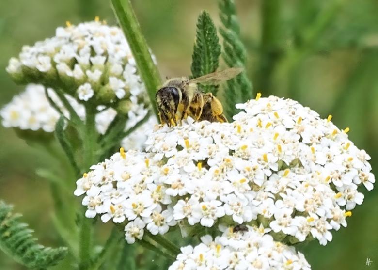 2019-07-07 LüchowSss Garten Wiesenschafgarbe + Wildbiene (5)