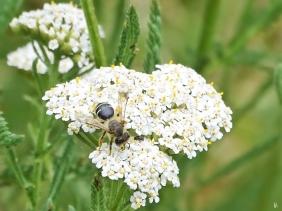 2019-07-07 LüchowSss Garten Wiesenschafgarbe + Wildbiene (6)