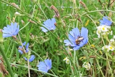 2019-07-09 LüchowSss Garten Vormittag Wegwarte (Cichorium intybus) + Hosenbiene (2)
