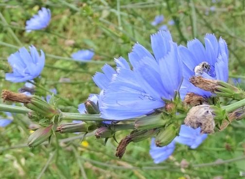 2019-07-09 LüchowSss Garten Vormittag Wegwarte (Cichorium intybus) + Wildbiene (1)