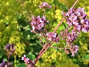 2019-07-10 LüchowSss Garten dunkle Sandbiene (Andrena spec.) an Wildem Dost (Origanum vulgare) (2)
