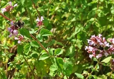 2019-07-10 LüchowSss Garten dunkle Sandbiene (Andrena spec.) an Wildem Dost (Origanum vulgare) (3)