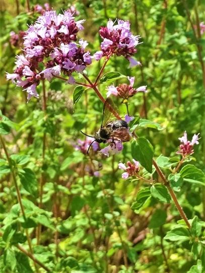 2019-07-10 LüchowSss Garten dunkle Sandbiene (Andrena spec.) an Wildem Dost (Origanum vulgare) (4)