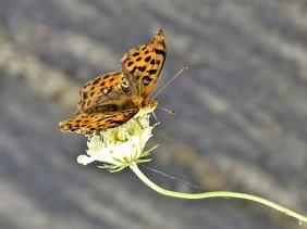 2019-07-10 LüchowSss Garten Kleiner Perlmuttfalter (Issoria lathonia) + Gelb-Skabiose (Scabiosa ochroleuca) (3)