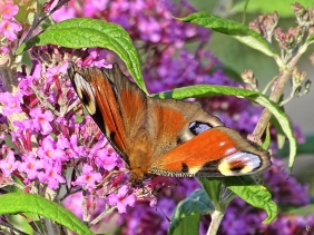 2019-07-10 LüchowSss Garten Tagpfauenauge (Inachis io) + Schmetterlingsfliefer (Buddleja davidii) 'Pink Delight'