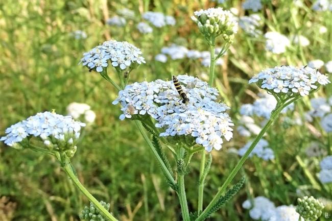 2019-07-10 LüchowSss Garten weibliche Stift-Schwebfliege (Sphaerophoria scripta) + Wiesen-Schafgarbe (Achillea millefolium)