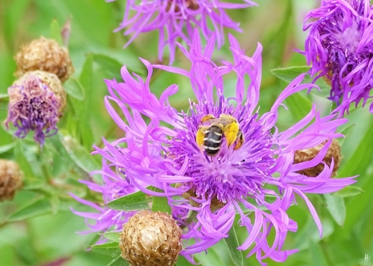 2019-07-11 LüchowSss Garten Wiesen-Flockenblume (Centaurea jacea) +Hosenbiene (4)