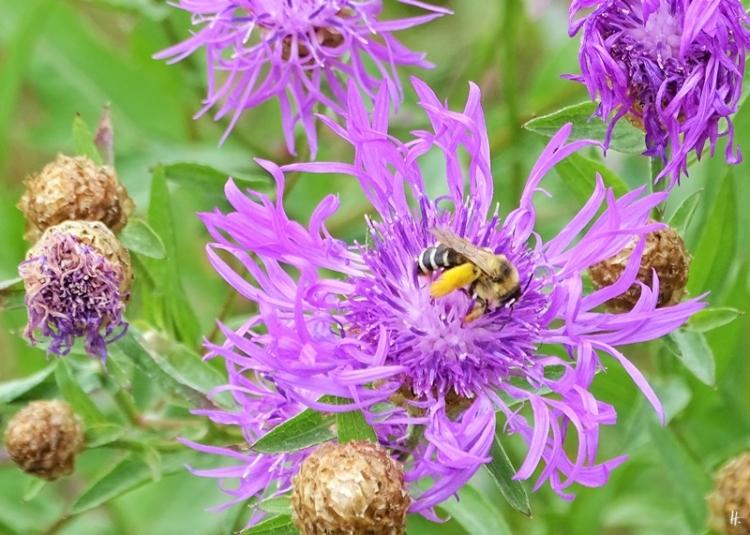 2019-07-11 LüchowSss Garten Wiesen-Flockenblume (Centaurea jacea) +Hosenbiene (5)