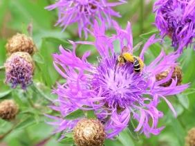 2019-07-11 LüchowSss Garten Wiesen-Flockenblume (Centaurea jacea) +Hosenbiene (6)