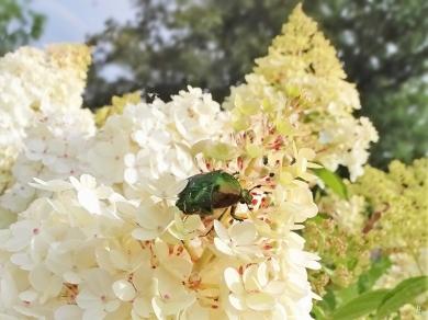 2019-07-11 LüchowSss GartenRispenhortensie (Hydrangea paniculata) + Goldglänzender Rosenkäfer (Cetonia aurata) (1)