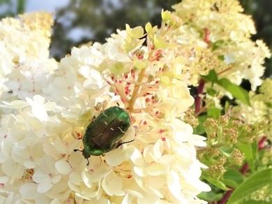2019-07-11 LüchowSss GartenRispenhortensie (Hydrangea paniculata) + Goldglänzender Rosenkäfer (Cetonia aurata) (3)
